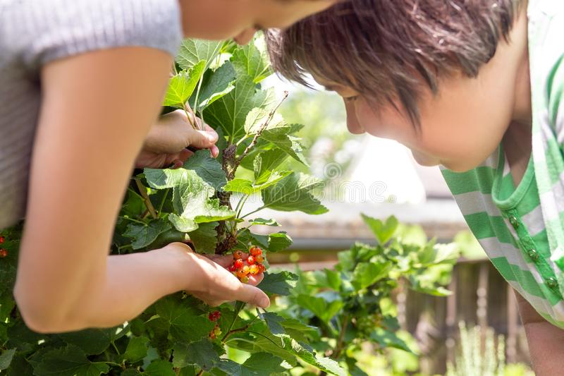 Woman is showing a mental disabled woman some currant berries royalty free stock photography