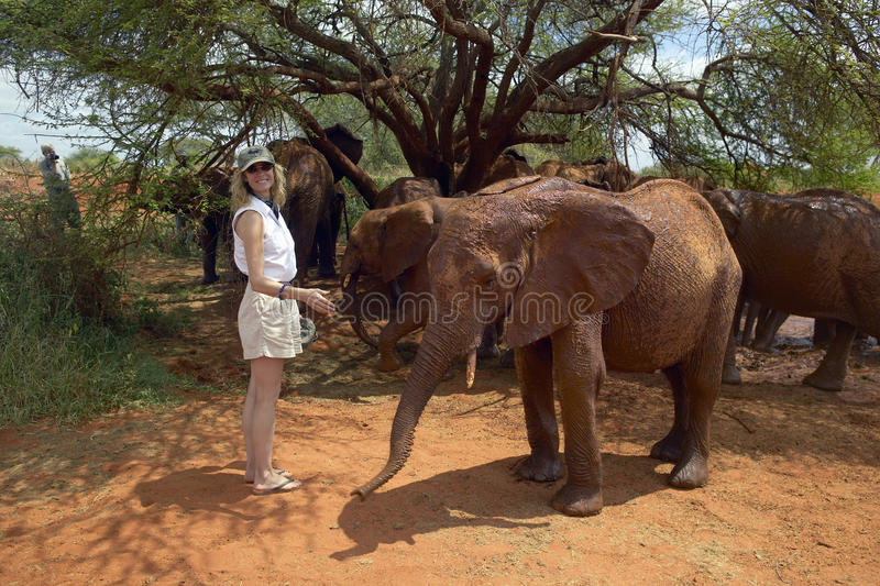 Woman smiling with Adopted Baby African Elephants at the David Sheldrick Wildlife Trust in Tsavo national Park, Kenya royalty free stock photography
