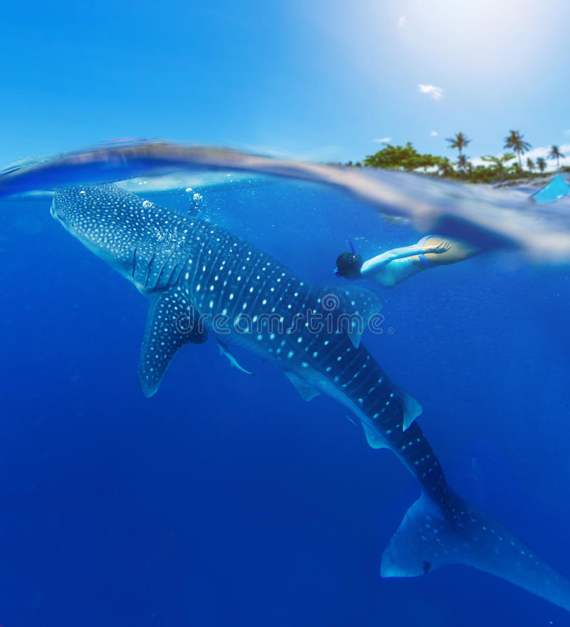 Woman snorkeling with whale shark stock images