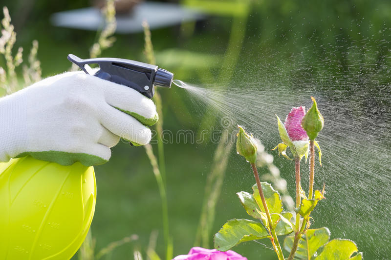 Woman spraying flowers in the garden royalty free stock images