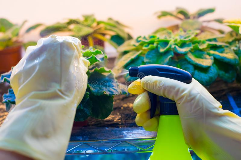 Pest control. Woman spraying flowers in the garden. Pest control stock photography