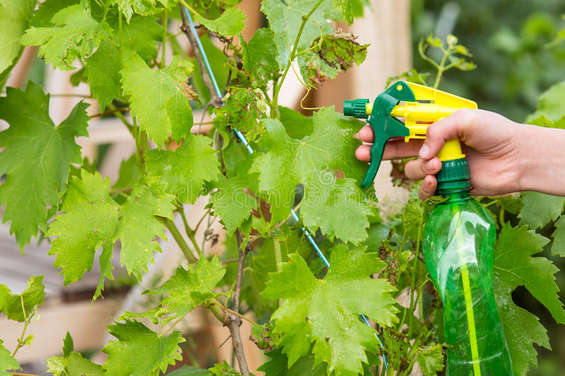 Woman squirting grapes solution royalty free stock images