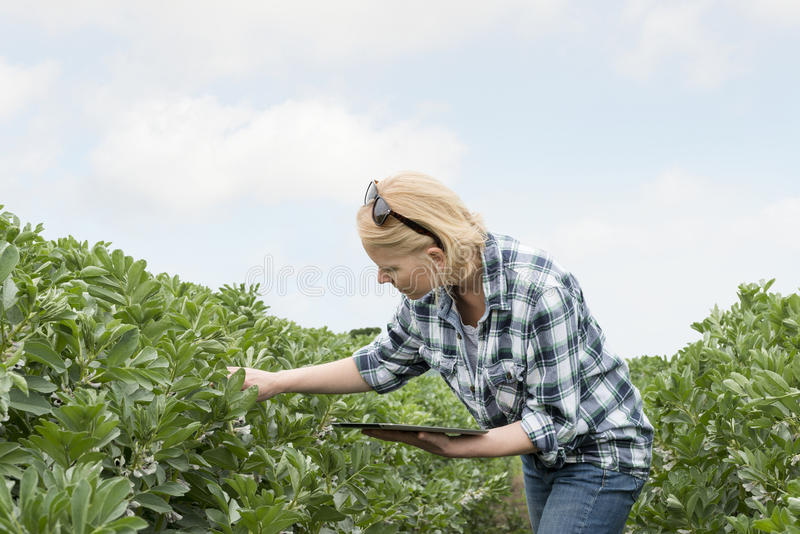 Woman with Tablet Computer Looks at Plant in a Field royalty free stock photo