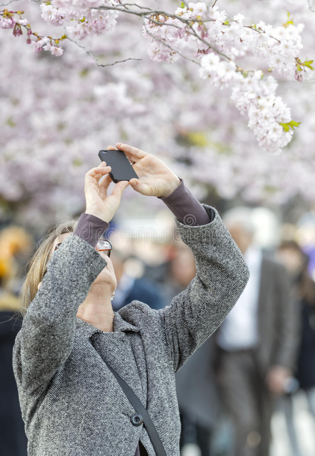 Woman takes photos with mobile phone at cherry blooming royalty free stock photography