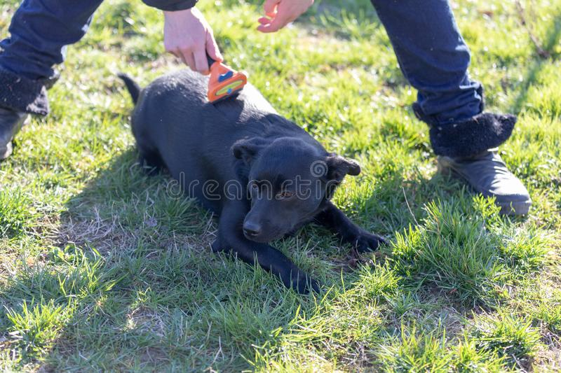 Woman taking care of her labrador puppy, combing puppy hair using dog brush royalty free stock photo