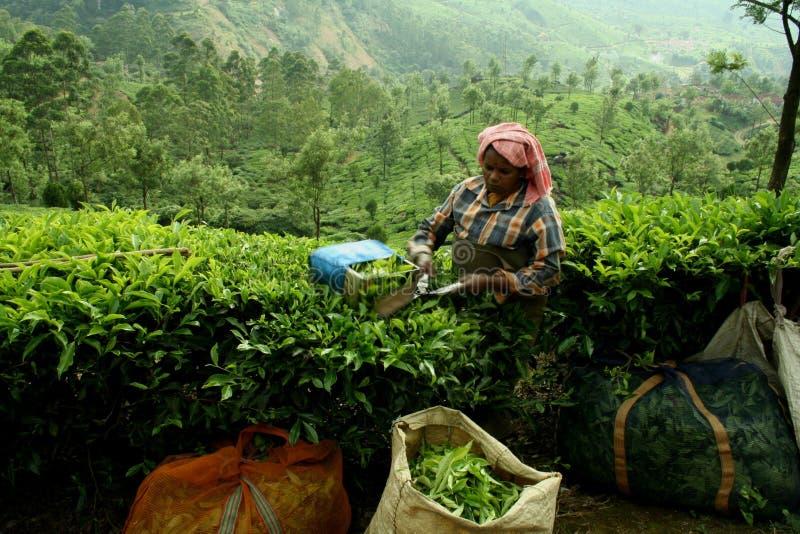 Woman at tea plantation stock photo