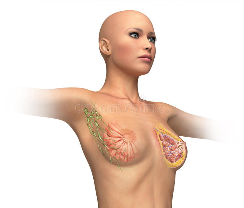 Woman torse with breast cutaway, cross section. stock photo