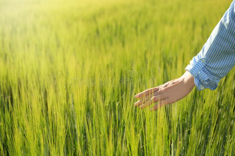 Woman touching wheat spikelets in green field royalty free stock photo