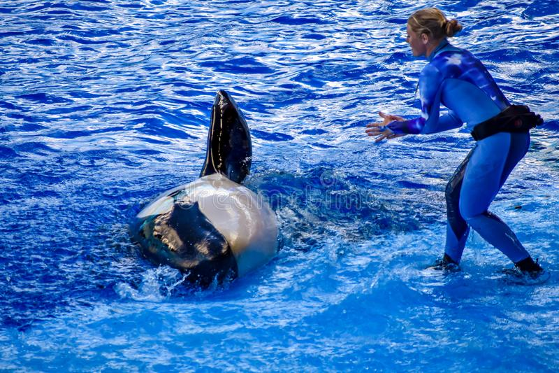 Woman trainer guiding an orca to raise her fin at Seaworld. royalty free stock photo