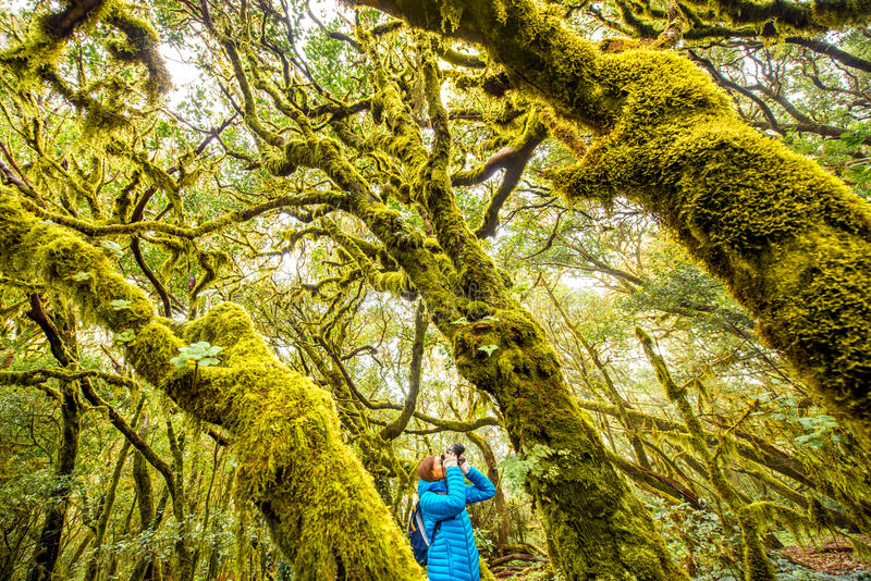 Woman traveling evergreen forest. Woman traveling with backpack, photographing with photo camera beautiful evergreen forest in Garajonay park on La Gomera island stock photo