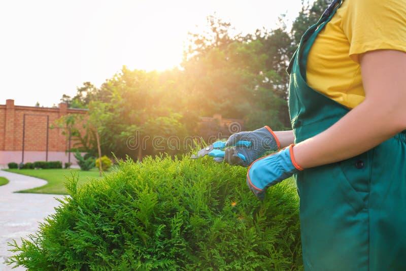 Woman trimming green bush outdoors, closeup. Home gardening royalty free stock image