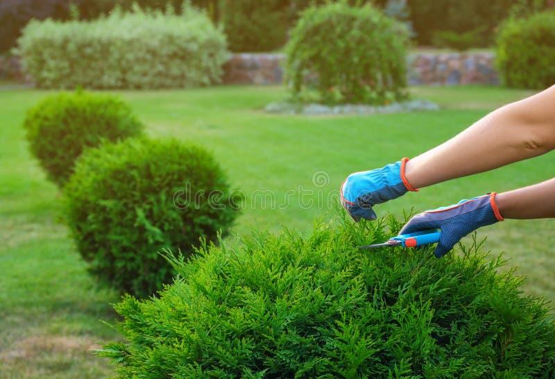 Woman trimming green bush outdoors, . Home gardening. Woman trimming green bush outdoors, closeup. Home gardening royalty free stock image