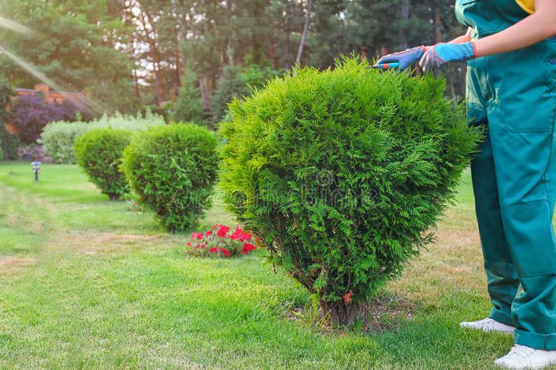 Woman trimming green bush outdoors. Home gardening. Woman trimming green bush outdoors, closeup. Home gardening stock images