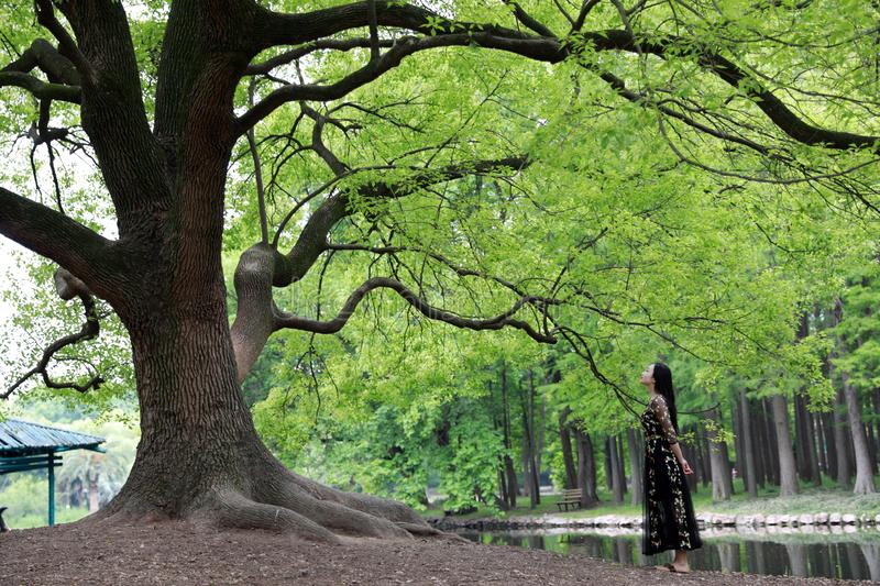 Alone woman under a big  blossom tree stock images