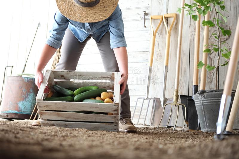 Woman in vegetable garden holding wooden box with farm vegetables. Autumn harvest and healthy organic food. Concept royalty free stock image