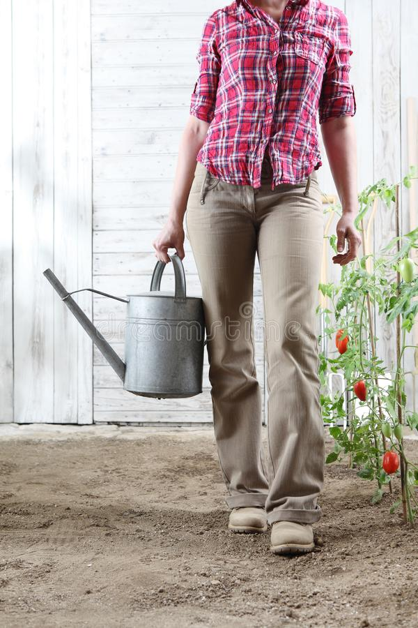 Woman in vegetable garden with watering can on white wooden shed background with cherry tomatoes. Plants royalty free stock images