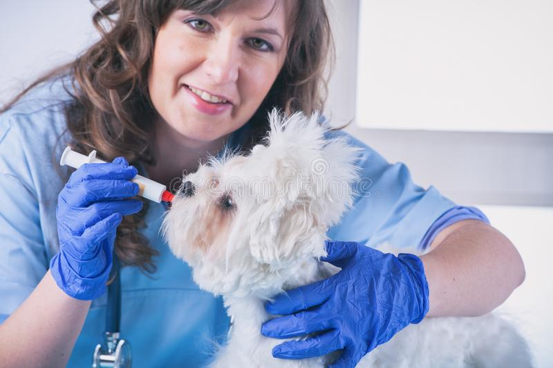 Woman vet with a little dog stock photography