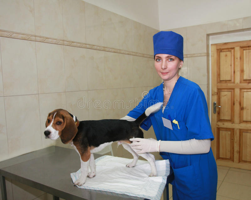 Woman veterinarian and beagle dog. royalty free stock image