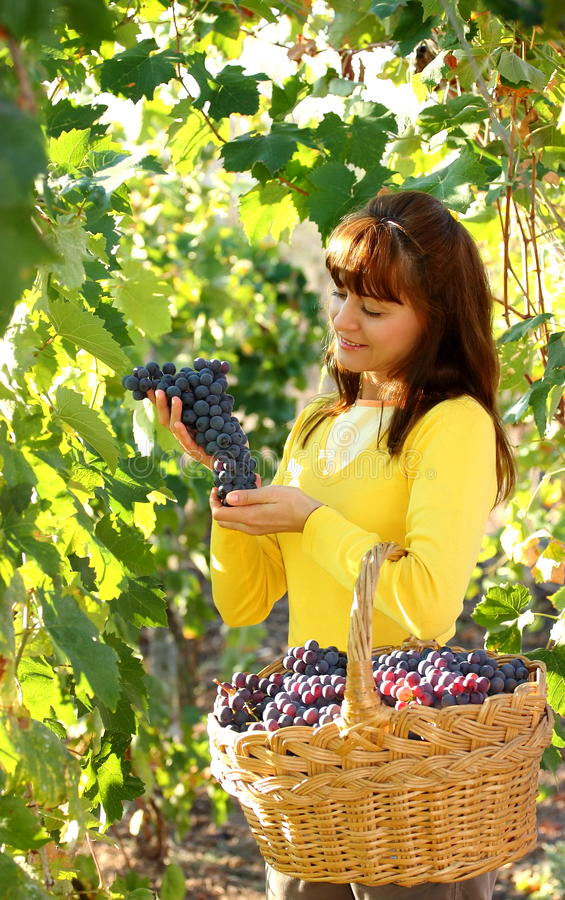 Woman in vineyard. Beautiful woman selecting best bunch of grapes from vineyard with basket