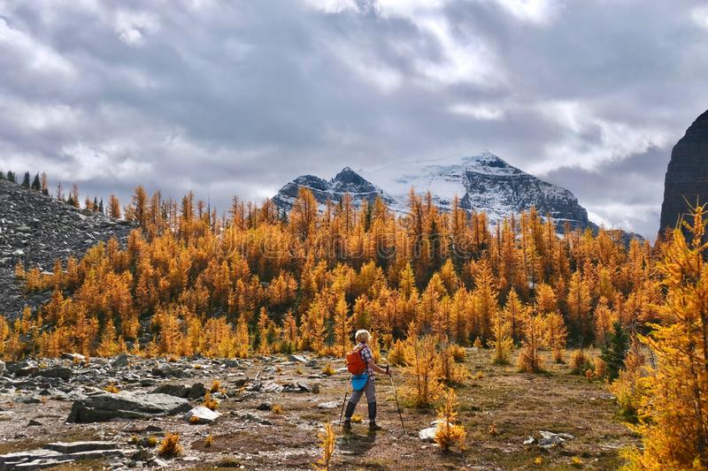 Woman walking in beautiful alpine meadows with yellow  larch trees and mountains covered with glaciers. royalty free stock images