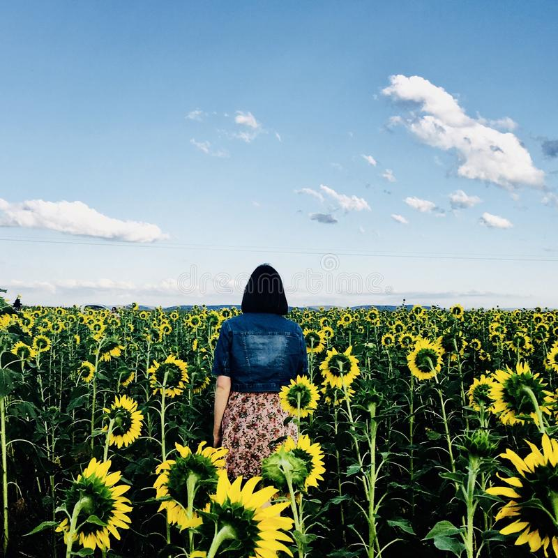 Woman Walking in Bed of Sunflowers royalty free stock images