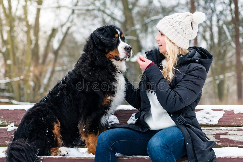 Woman walking Bernese mountain dog on a winter day. In the snow royalty free stock photography