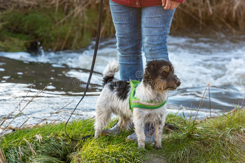 Woman is walking with a small obedient Jack Russell Terrier dog near a water body. Woman is walking with a little obedient Jack Russell Terrier dog near a water stock photo