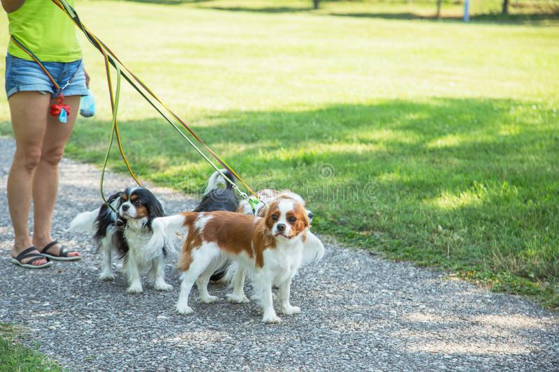 Woman walking a pack of small dogs Cavalier King Charles Spaniel in park. Professional dog walker service. stock photo