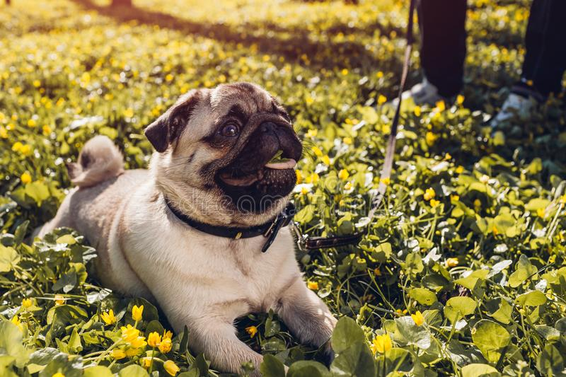 Woman walking pug dog in spring forest. Happy puppy lying among yellow flowers in the morning and chews grass royalty free stock photos