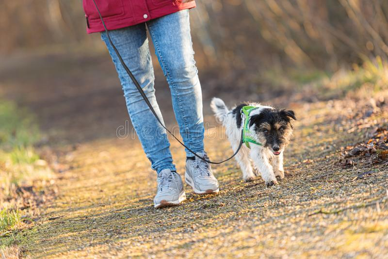 Woman is walking with a small cute obedient Jack Russell Terrier dog in the autumn forest. Woman is walking with a small obedient Jack Russell Terrier dog in the stock image