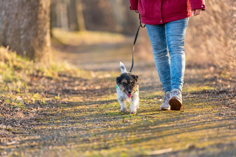 Woman is walking with a small cute obedient Jack Russell Terrier dog in the autumn forest stock photography