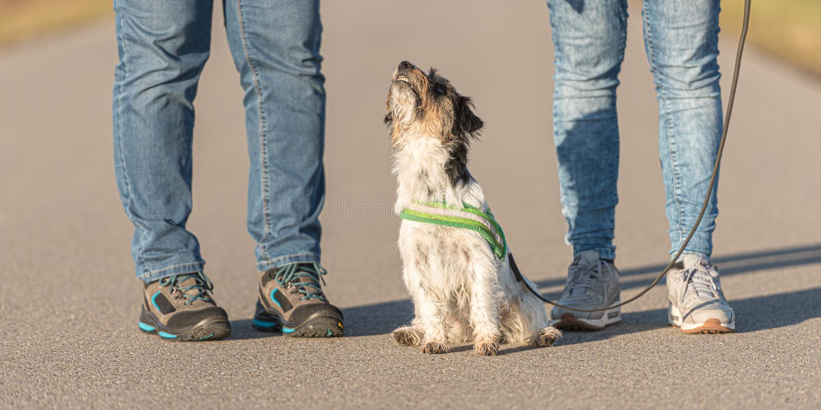 Woman is walking with a small obedient Jack Russell Terrier dog on a tar road. Dog ist sitting and is looking up. Woman is walking with a tiny obedient Jack royalty free stock photo