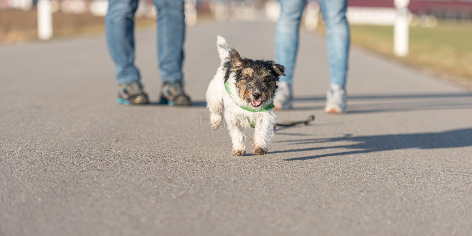 Woman is walking with a small obedient Jack Russell Terrier dog on a tar road. Dog is running away. Woman is walking with a little obedient Jack Russell Terrier royalty free stock photography