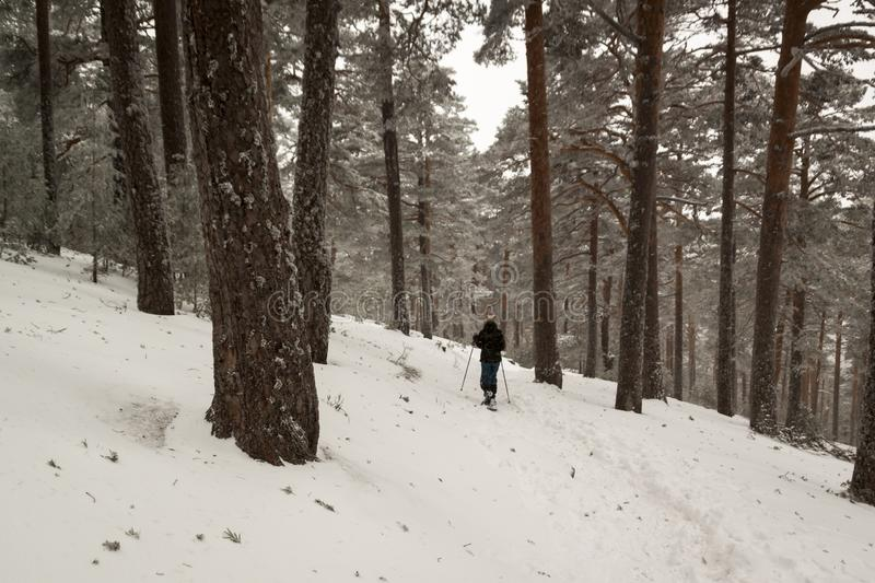 Woman walking with technical snowshoes in the pine forest by the mountains stock photography