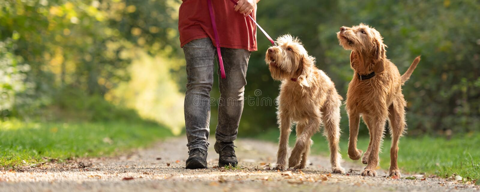Woman is walking with two lovely Hungarian Magyar Vizsla dogs. Young and old obedient dogs royalty free stock photos