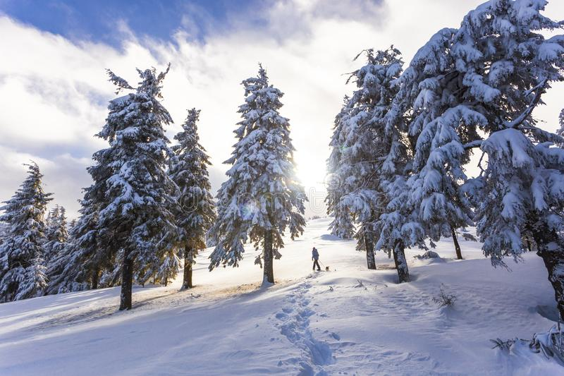 A woman walks along a snowy spruce in the winter forest. royalty free stock photos