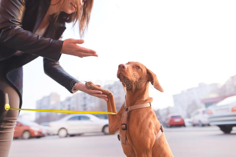 woman walks with a dog in the city. Portrait of a dog on the owner of a light urban background royalty free stock images