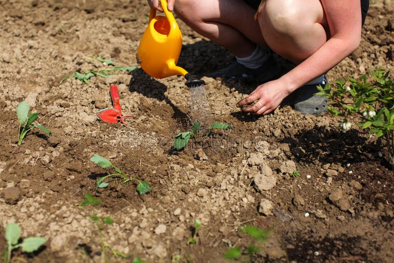 Woman watering freshly planted seedling with yellow sprinkle can stock images