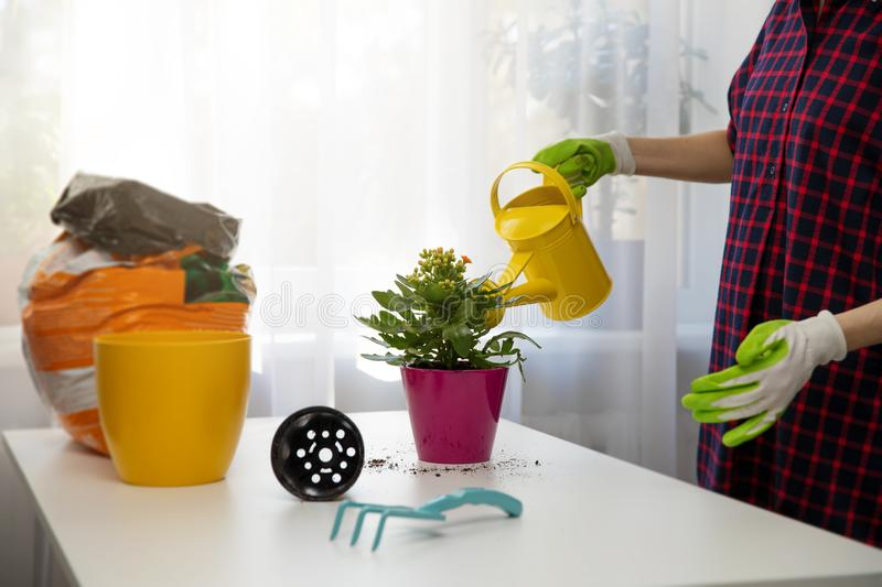 Woman watering indoor plant after planting in a flower pot royalty free stock photography