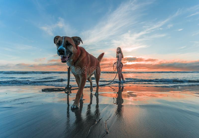 Woman Wearing Bikini Walking on Beach Shore With Adult Brown and White Boxer Dog during Sunset stock photo
