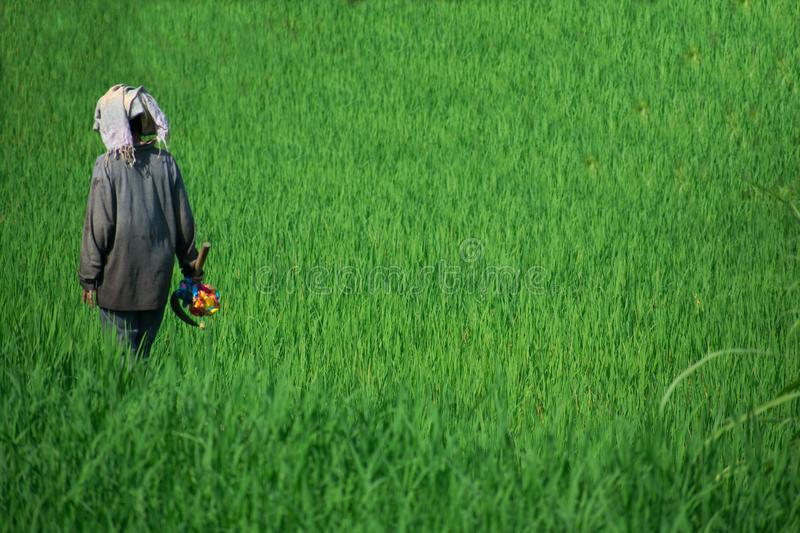 Woman at Work in the Rice Fields in Bali, Indonesia royalty free stock images