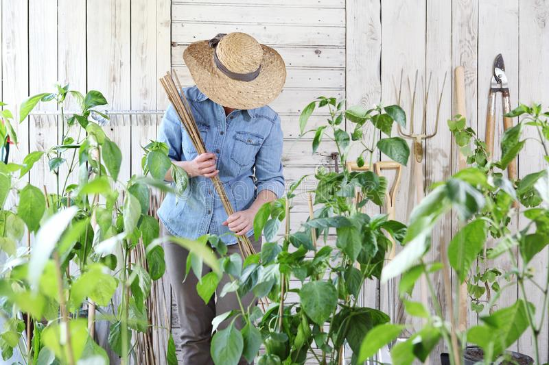 Woman work in the vegetable garden with bamboo sticks in the middle of green plants, take care for plant growth, healthy organic stock photo