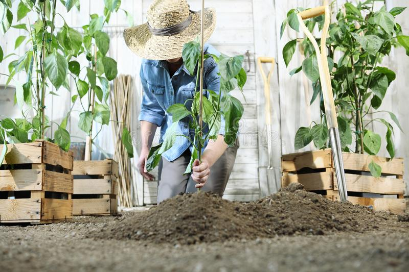 Woman work in the vegetable garden with hands planting a young plant on soil, take care for plant growth, healthy organic food royalty free stock image