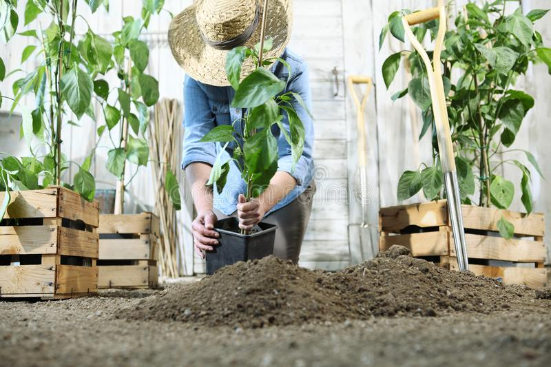 Woman work in the vegetable garden with hands repot and planting a young plant on soil, take care for plant growth royalty free stock images