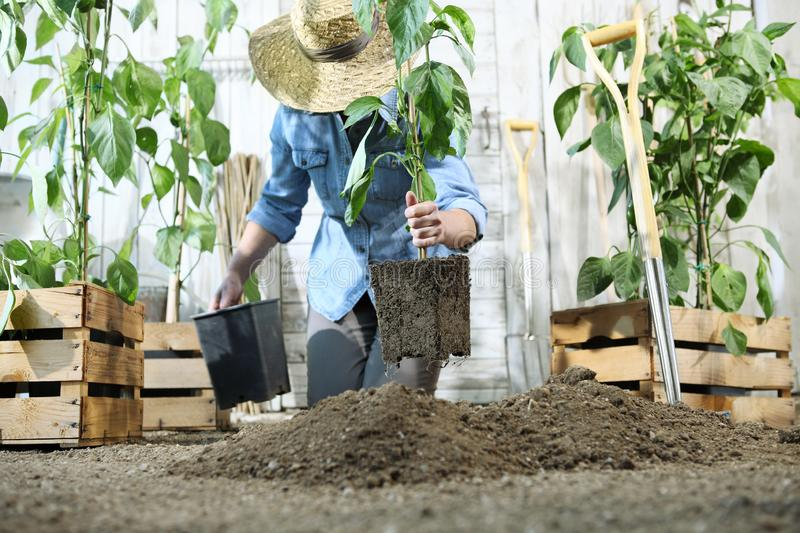 Woman work in the vegetable garden with hands repot and planting a young plant on soil, take care for plant growth royalty free stock photos