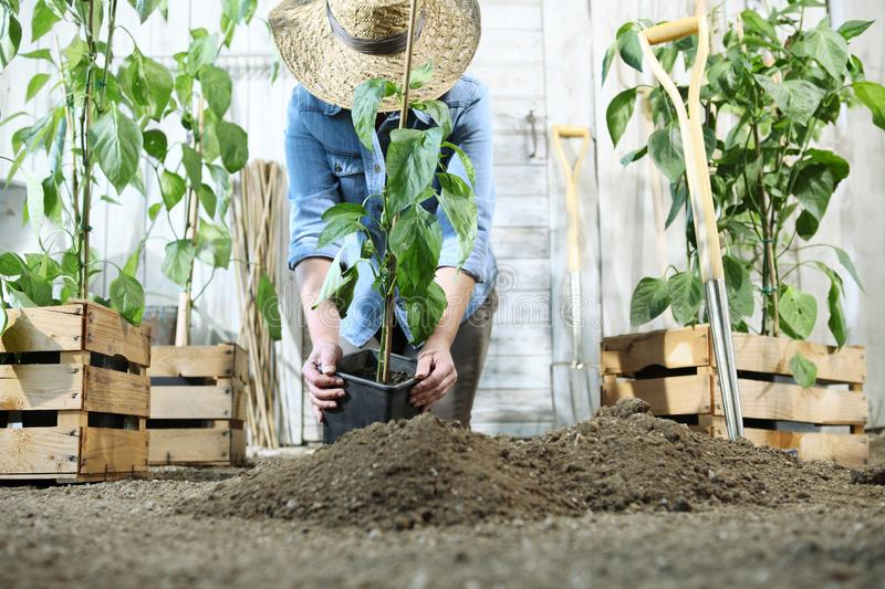 Woman work in the vegetable garden with hands repot and planting a young plant on soil, take care for plant growth, healthy royalty free stock photos