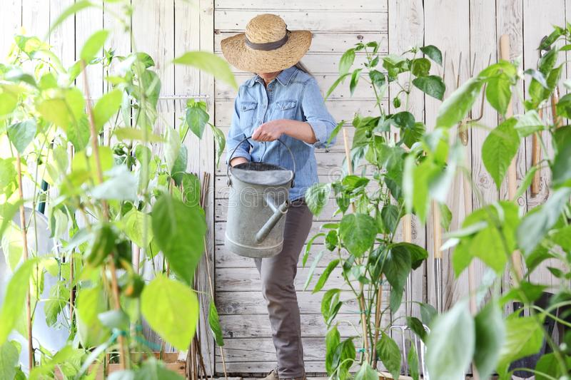 Woman work in the vegetable garden with watering can in the middle of green plants, crop to grow healthy organic food produce stock images