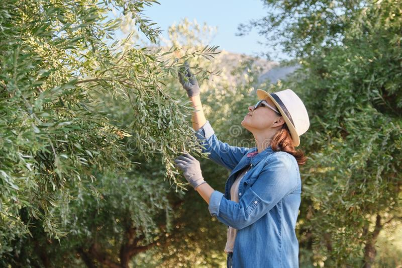 Woman worker inspecting olive trees in the mountains, eco olive farm royalty free stock photos
