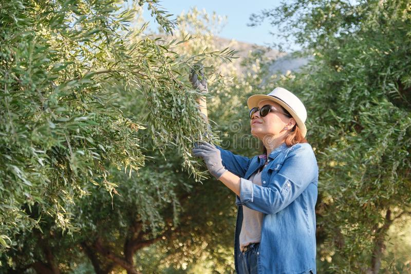 Woman worker of an olive farm, background olive garden in the mountains stock photos