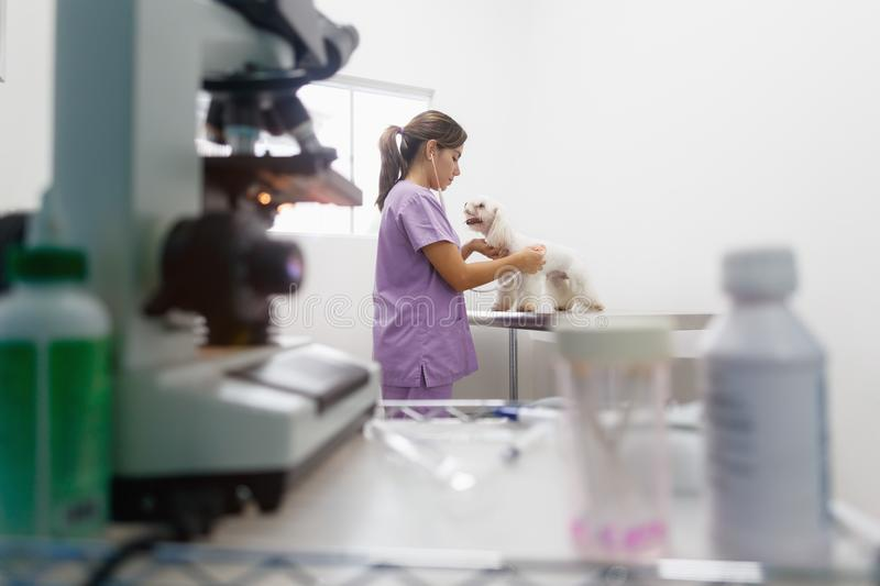 Woman Working As Doctor In Clinic With White Dog. Young latina woman working as veterinary, vet during visit. Animal doctor visiting ill pet in clinic and stock photos